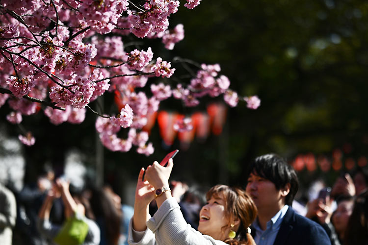 cherry blossoms 7