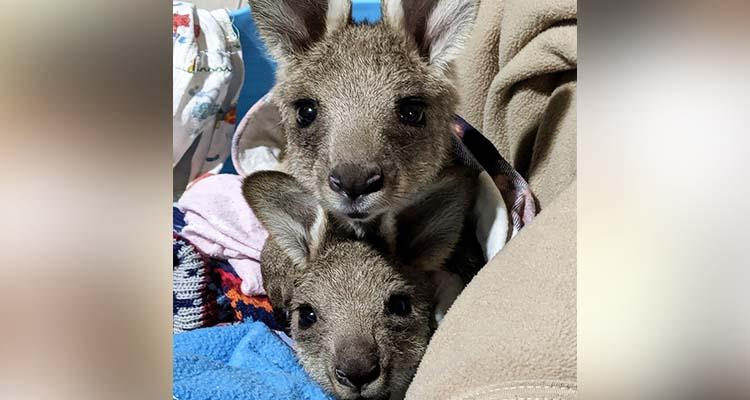 20 kangaroos killed in hit and run