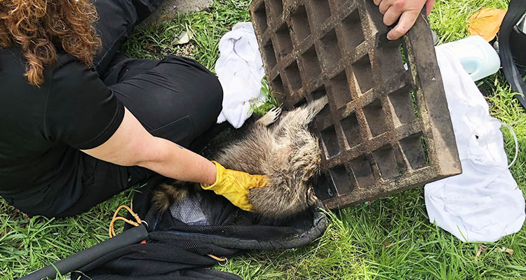 No 'Guardian of the Galaxy': Trapped US raccoon goes viral