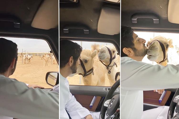 Meet Emaar and Al Faris, Sheikh Hamdan's camels!