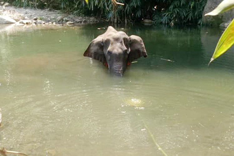 Pregnant elephant dies after being fed crackers-stuffed pineapple ...
